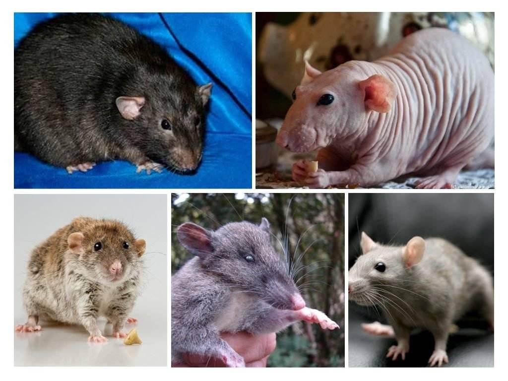Декоративные крысы: содержание домашних видов и советы по уходу за ними (145 фото и видео)