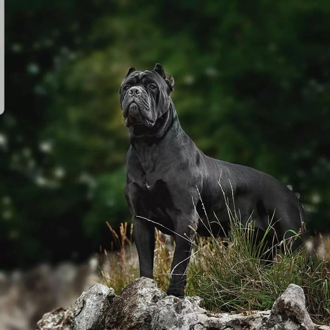 Кане корсо: описание стандарта породы собак с фото, характеристика итальяно, питомники, отрицательные отзывы владельцев и сколько стоит щенок итальянского мастифа