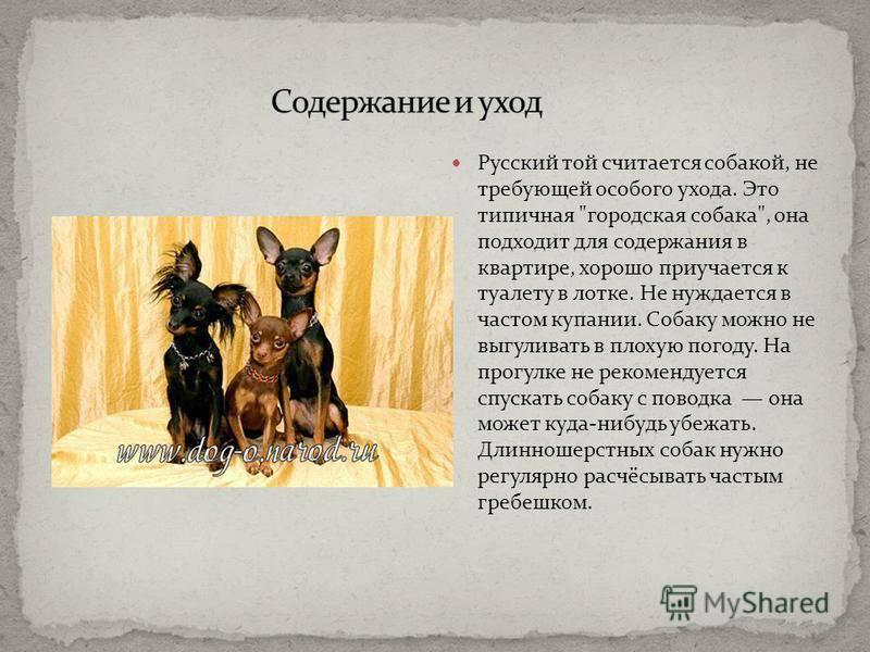Описание породы длинношерстного русского тоя