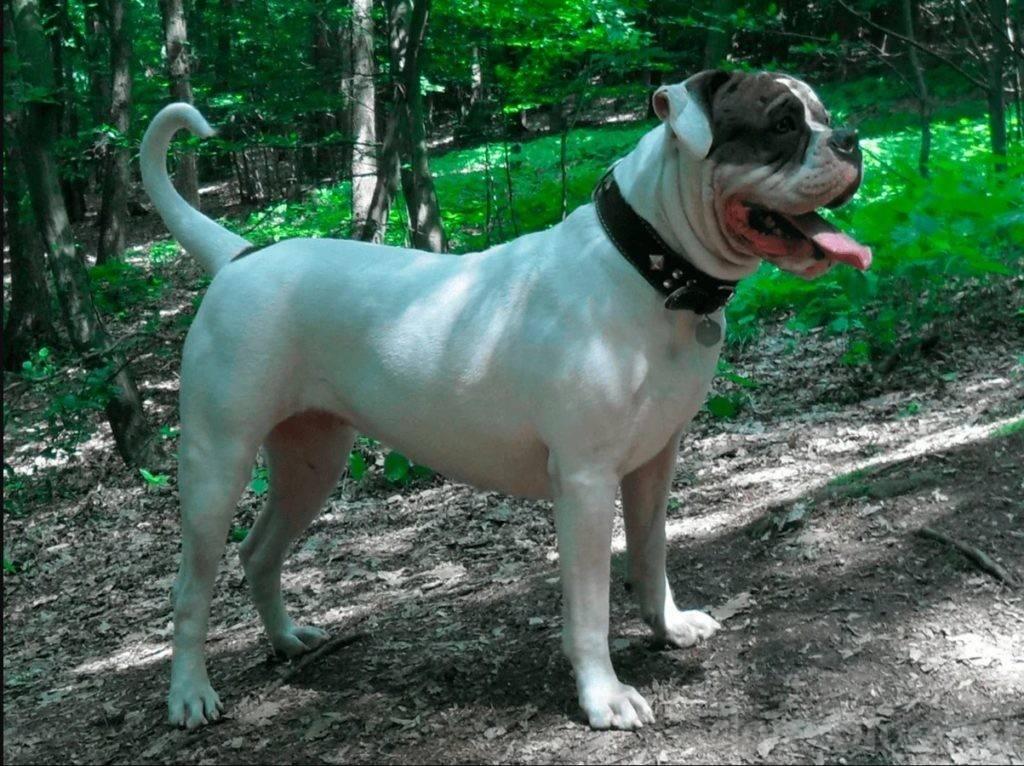 Собака с бесстрашным сердцем – лхаса апсо