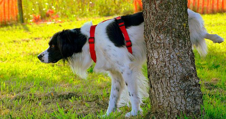 Недержание мочи у собак: причины, лечение   что делать и чем лечить