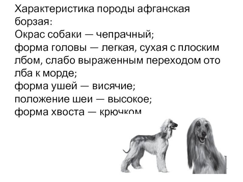 Афганская борзая — описание породы и характер собаки