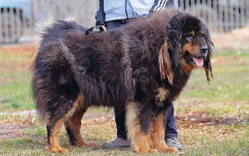 Монгольская овчарка - банхар ⋆ собакапедия