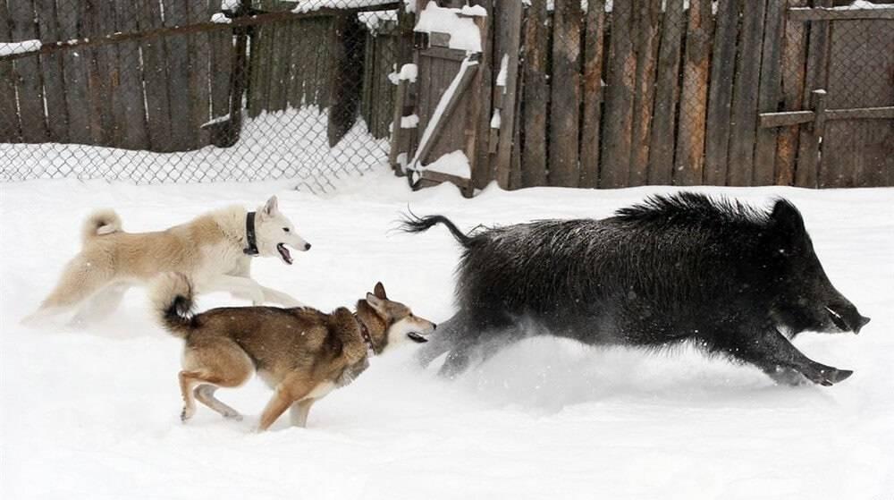 Лось. подготовка собаки к охоте на лося. азы охоты
