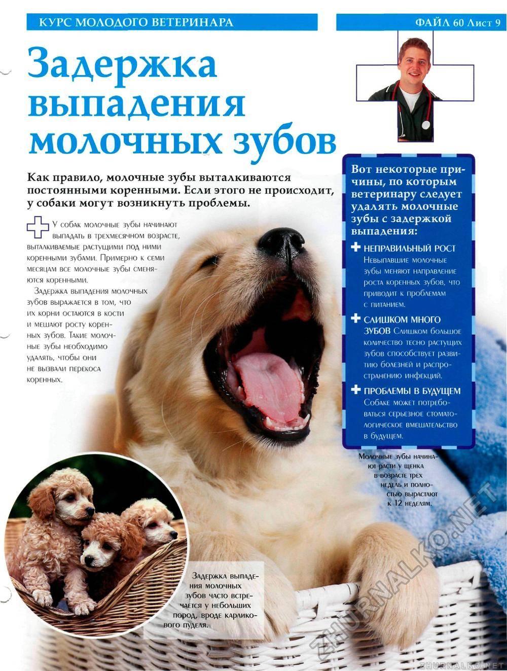 Смена молочных зубов у щенков: во сколько месяцев меняются, симптомы, схема смены