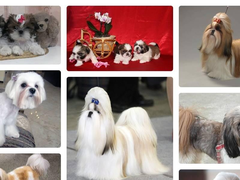 Ши-тцу: описание породы собак, характер, недостатки