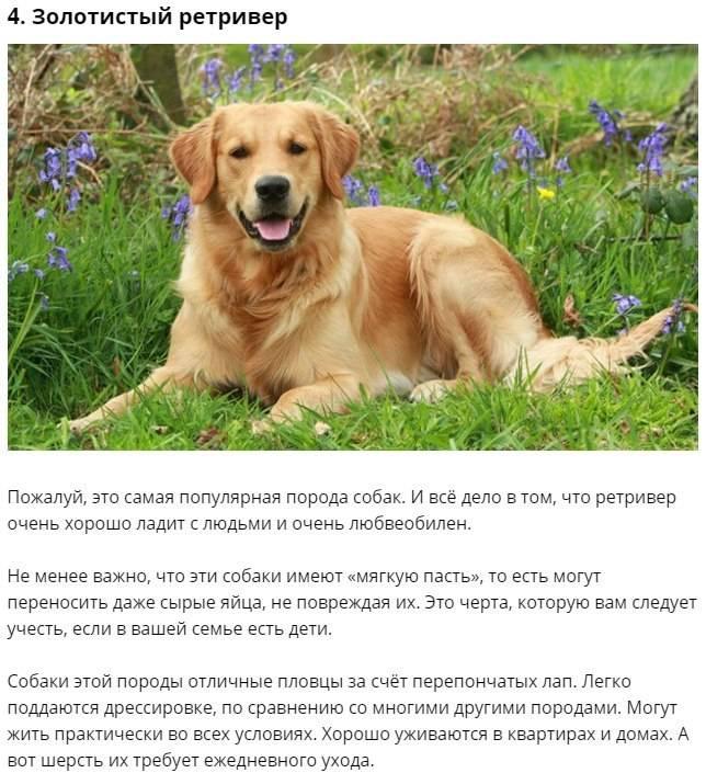 Самая добрая порода собак в мире: дружелюбная, ласковая, безобидная
