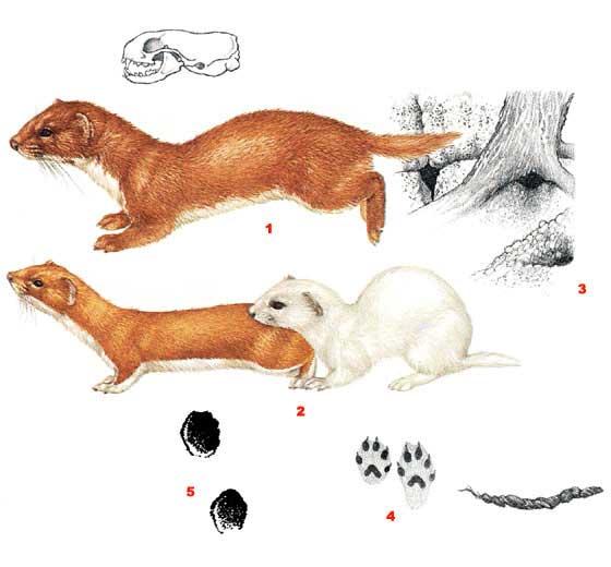 Животное ласка: фото и описание, где живет и чем питается. животное ласка как избавиться от него? способы избавления от животного