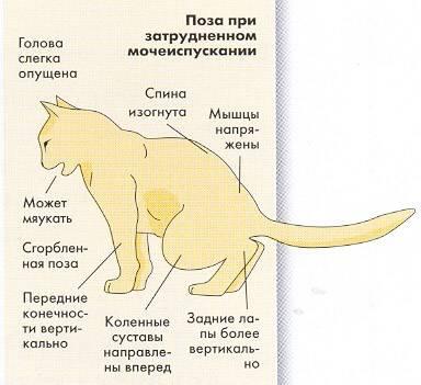 Недержание мочи у кота после катетеризации - здрав-почки