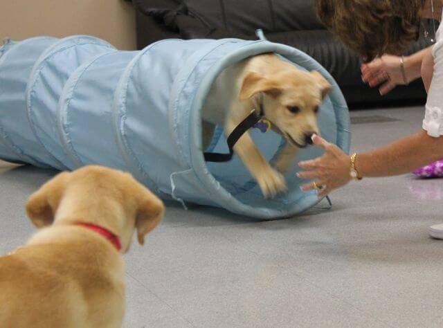 Дрессировка лабрадора в домашних условиях: как дрессировать и обучать командам щенка, видео