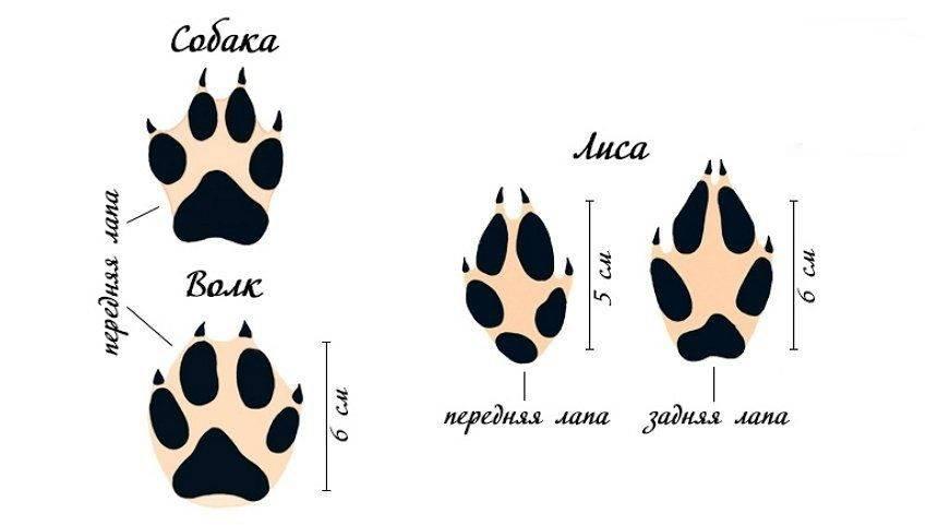 Чем отличается волк от собаки? 10 основных отличий