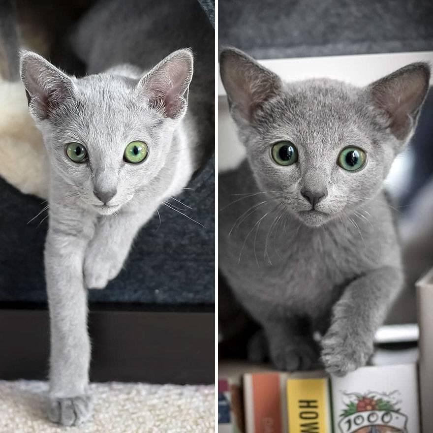 Самые популярные кошки с большими ушами: топ-10