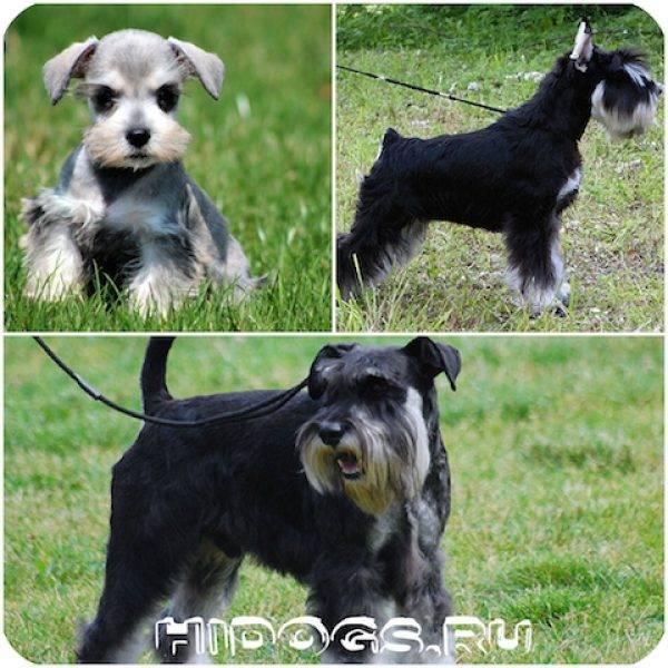 Ризеншнауцер: описание породы собак, фото, характер, минусы и плюсы