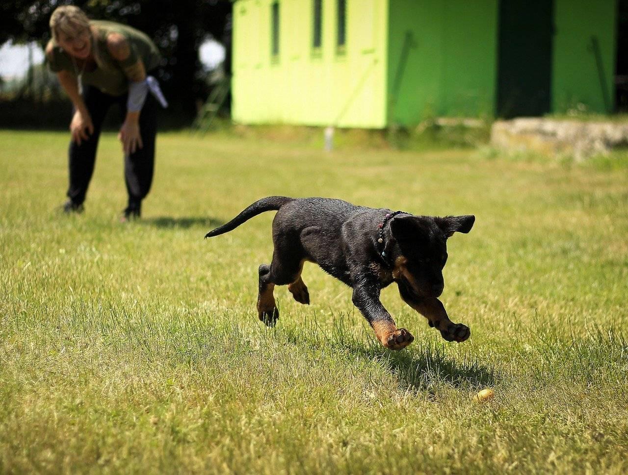 Отзывы владельцев о ротвейлерах: положительные и отрицательные черты характера собак и особенности их содержания