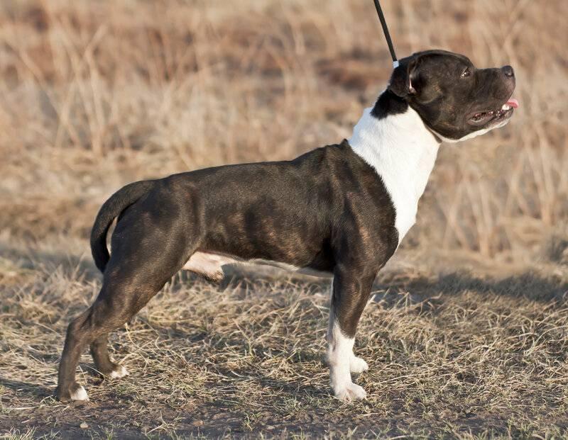 Отличия стаффорда и питбуля: фото собак, разница в экстерьере, сравнение характеров, особенности содержания и кого лучше завести