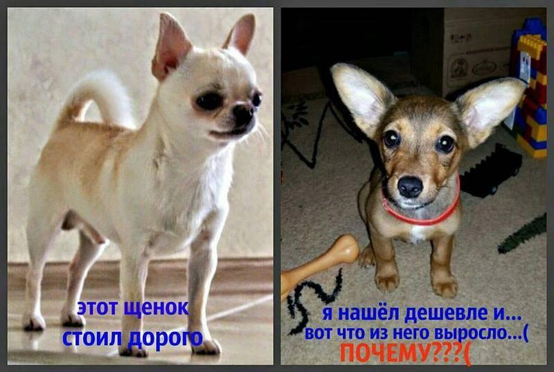 Доступные любимцы или обзор 7 недорогих пород собак
