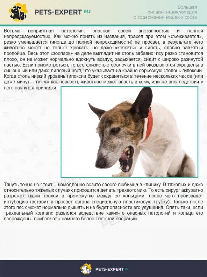 Кашель у собаки, как будто подавилась, и лечение - домашние животные