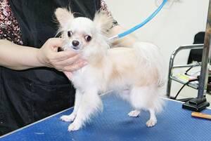 Дрессировка чихуахуа: все о воспитании маленькой, но очень серьезной собачки