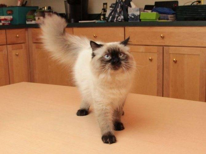 Гималайская кошка: история, стандарт, уход, кормление