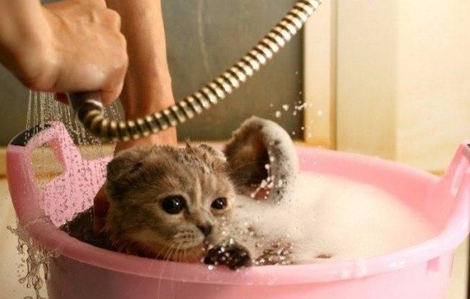 Обстоятельства и частота купания кошки: выбор шампуня и подготовка питомца