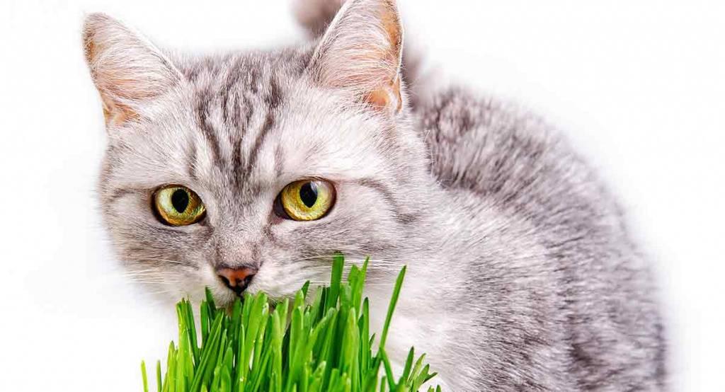Зачем кошка ест траву? - твойпитомец