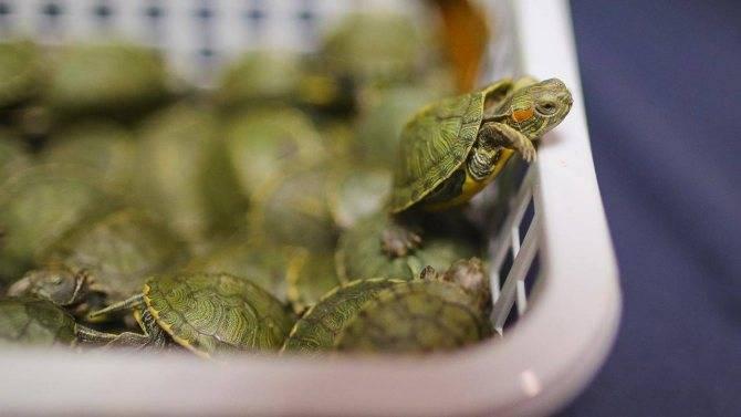 Чем кормить домашнюю красноухую черепаху?