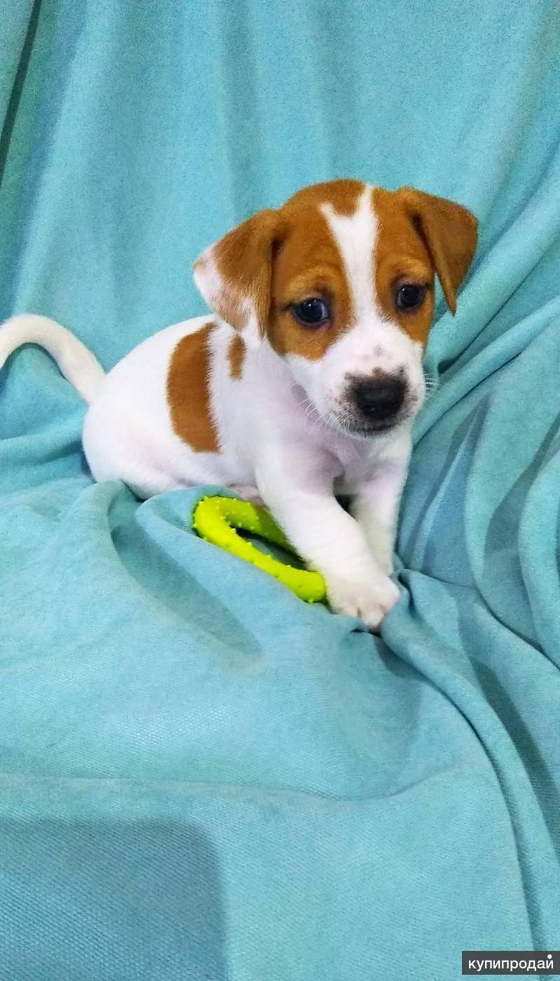 Джек-рассел-терьер: как правильно ухаживать за собакой