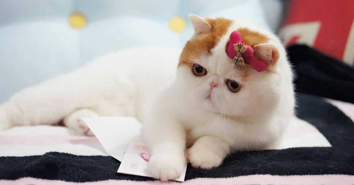 Экзотическая кошка – основные характеристики породы, существующие виды, особенности содержания и ухода