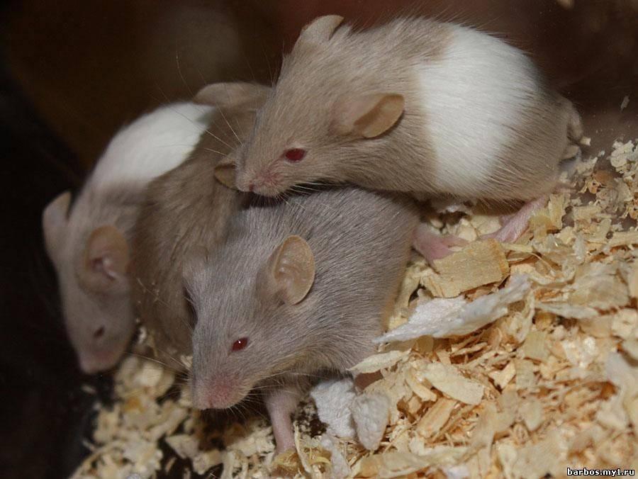 Белая мышь: особенности содержания 2020