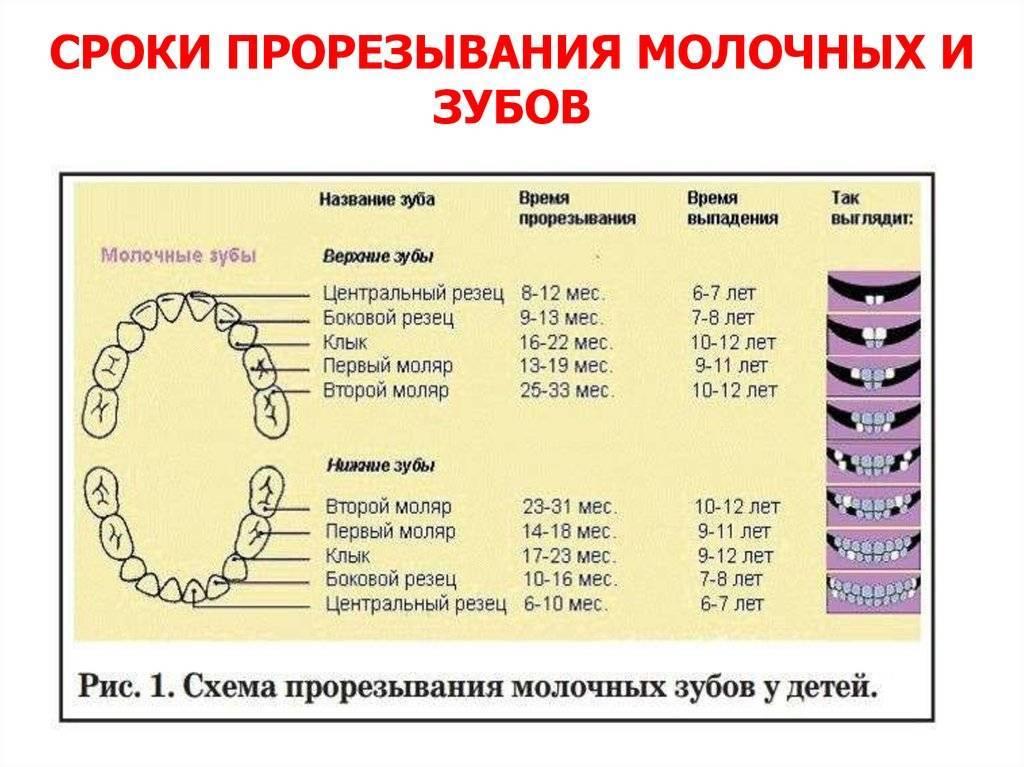 До какого возраста у собак растут зубы   стоматологический портал