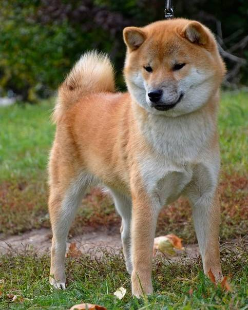 Описание породы собак сиба ину