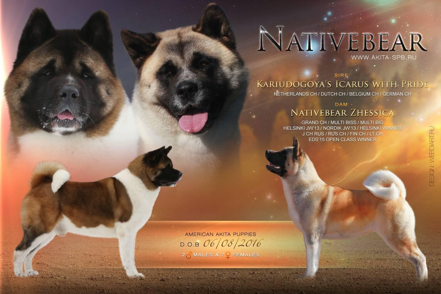 Характеристика породы собак американская акита