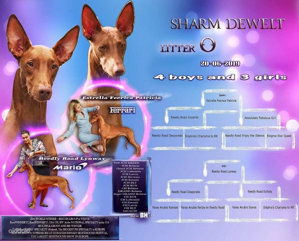 Фараонова собака – описание породы