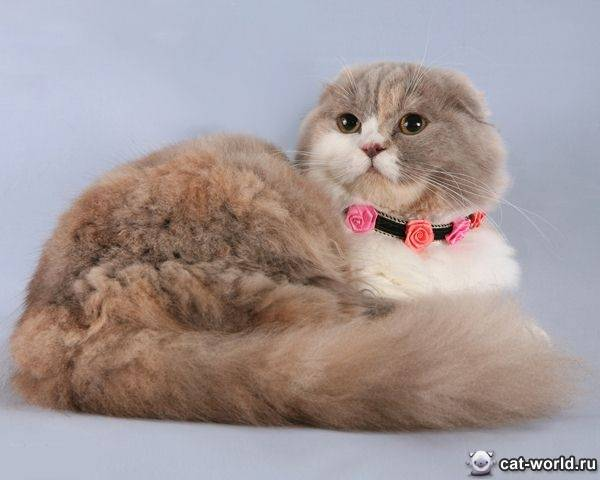 Шотландская вислоухая: скоттиш фолд, описание, фото, котята