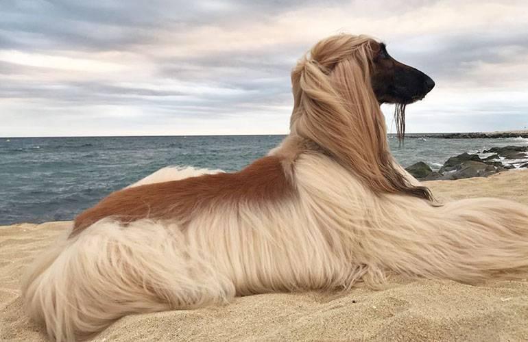 Афганская борзая: описание породы, характер собаки и щенка, фото, цены