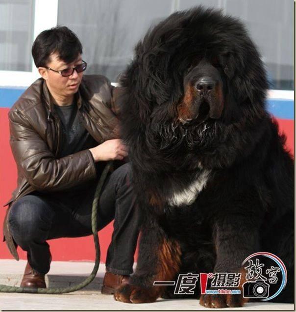 Тибетский мастиф: внешний вид, габариты, характер, происхождение