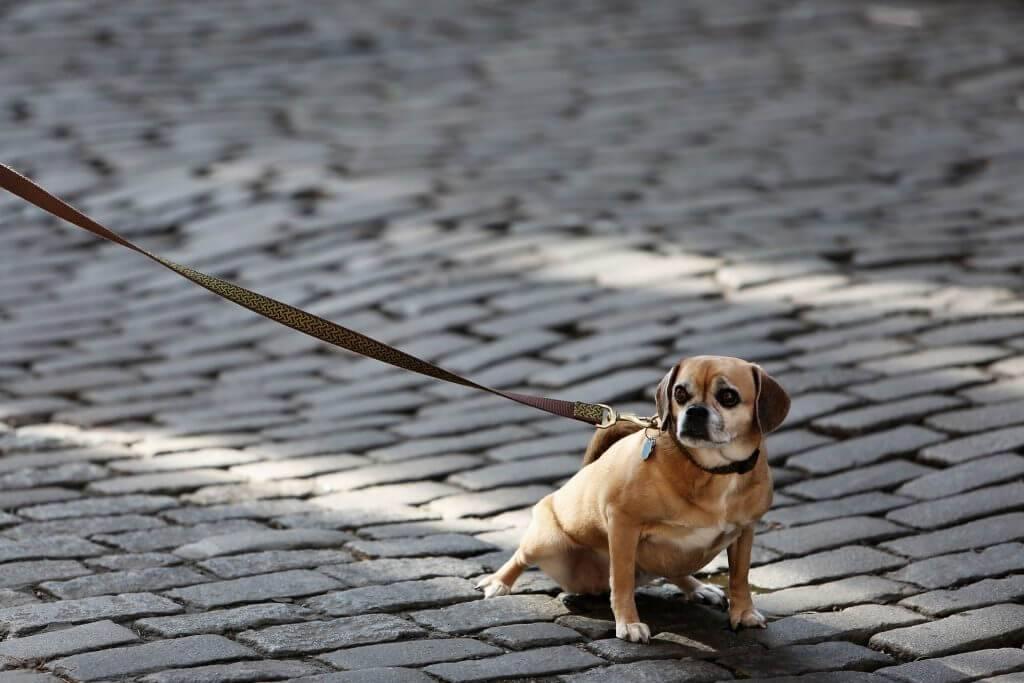 Собака ничего не ест и вялая: почему и что делать