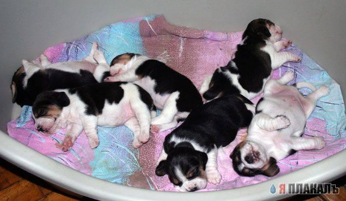 В каком возрасте щенки начинают хорошо видеть. освоение мира — когда щенки открывают глаза после рождения, начинают есть, ходить, терпеть в туалет? как щенки меняются после открытия глаз