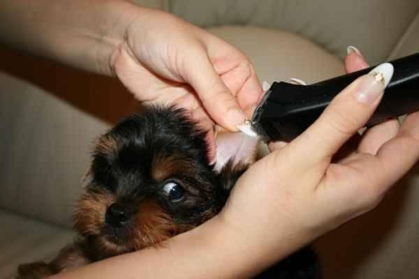 В каком возрасте встают уши у щенка той-терьера и когда их нужно ставить + как правильно чистить ушки питомцу