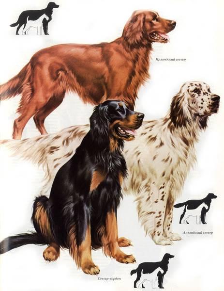Ирландский сеттер: описание породы, здоровье и характер собаки