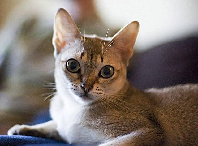 Сингапурская кошка (сингапура): фото, цена, описание породы, характер, видео, питомники