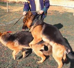 Когда начинается первая течка у немецкой овчарки: продолжительность сколько длится и на какой день вязать собаку