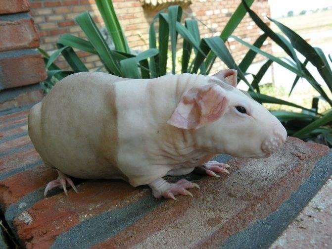 Морская свинка розеточная (абиссинская)
