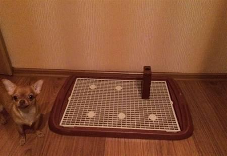 Как приучить той терьера к туалету.