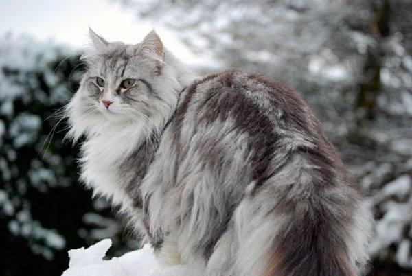 Норвежская лесная кошка: 110 фото, особенности породы и уход за шерстью