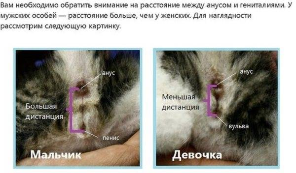 Гинекология собак и кошек. половая зрелость животных