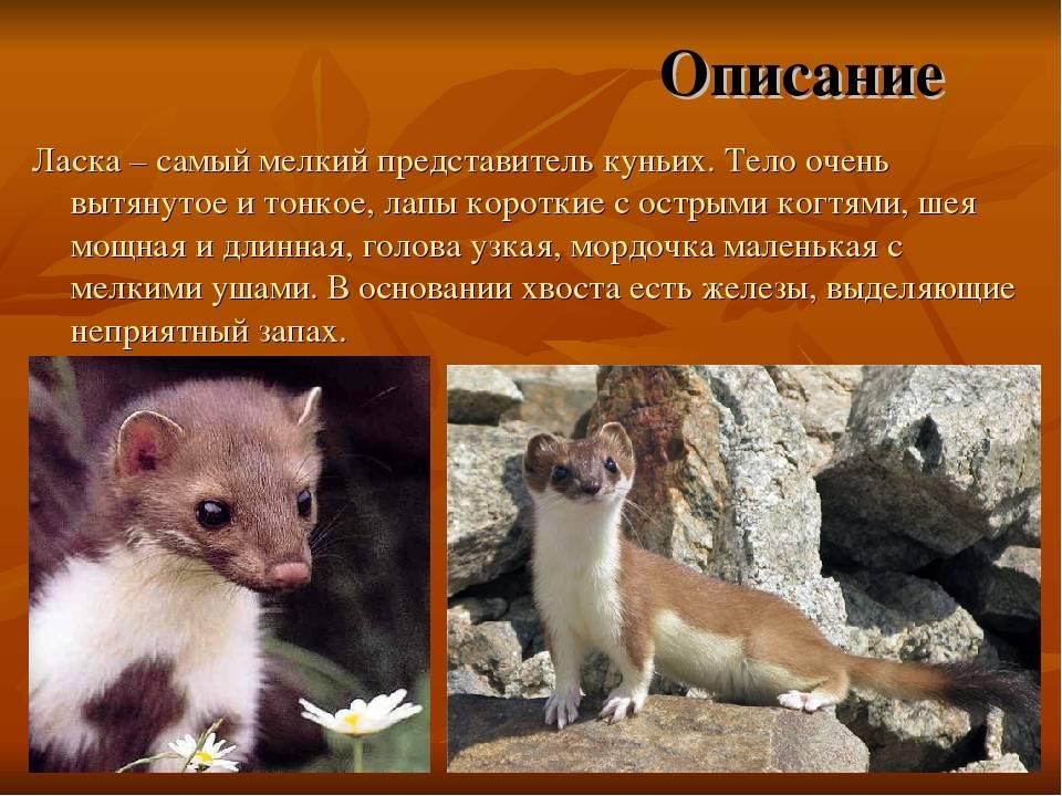 Ласка животное — описание, питание и ареал обитания