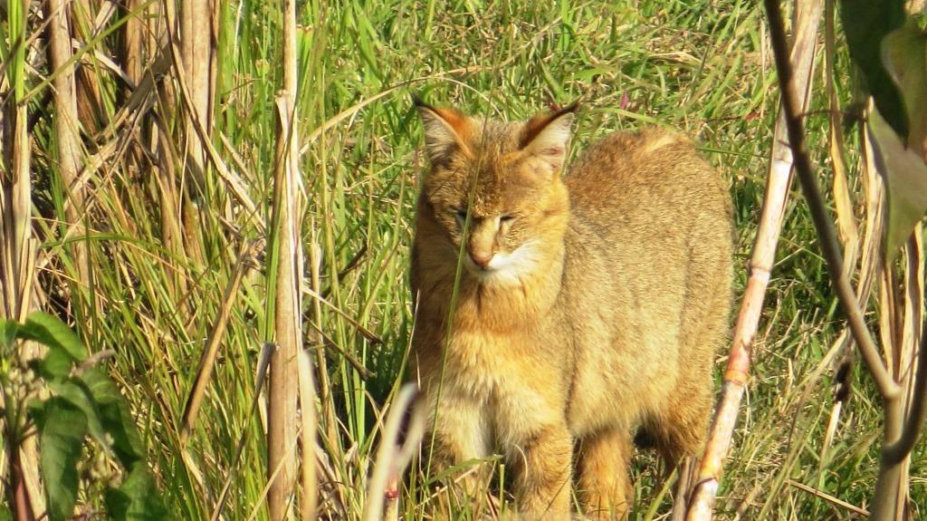 Камышовый кот или тростниковая кошка, нет, болотная рысь!
