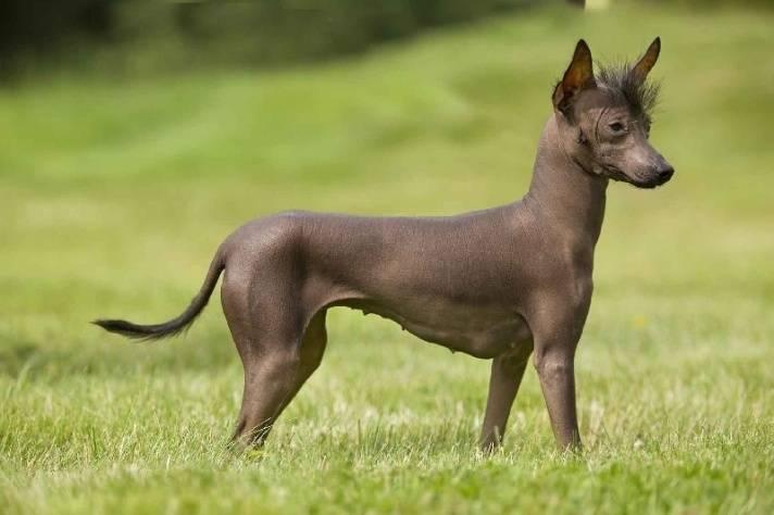 Мексиканская лысая собака: описание, характер, фото