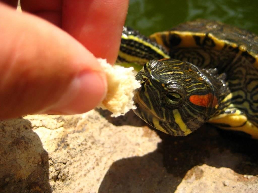 Чем кормить черепаху красноухую в домашних условиях, как правильно?